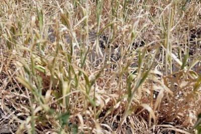 Засуха в Татарстане привела к катастрофе на полях